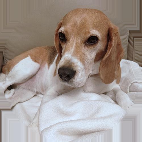 Beagle Hündin Lola